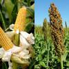 Congresso Brasileiro de Milho e Sorgo discute as novas tecnologias e segurança alimentar