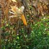 Feijão guandu protege o milho orgânico contra ervas daninhas