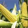 Importação de milho transgênico revolta agricultores orgânicos