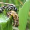 Vespinha combate pragas na agricultura, diminuindo o uso de agroquímicos