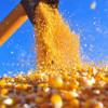 Safra de grãos sofre com clima, recua e deve alcançar 188,1 milhões de toneladas
