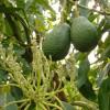 Você sabia que o abacate é mais lucrativo do que o petróleo no México?