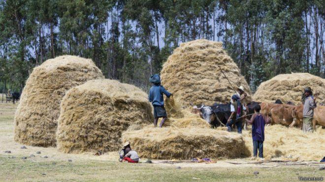 A colheita do teff na Etiópia: grão comumente consumido no país virou moda em países ocidentais. Foto: Thinkstock
