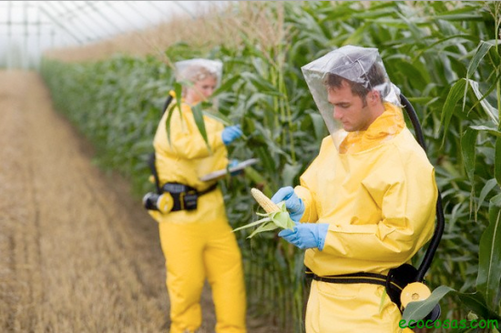 Agricultores verificando toxicidade no milho