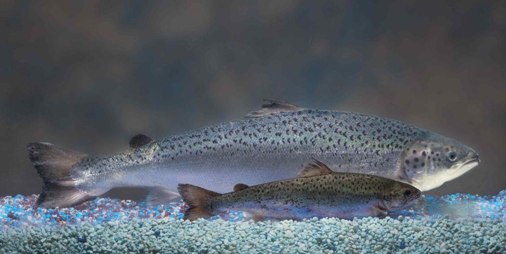 Salmão transgênico de 1,5 ano comparado a um salmão não-transgênico. Foto: Reuters