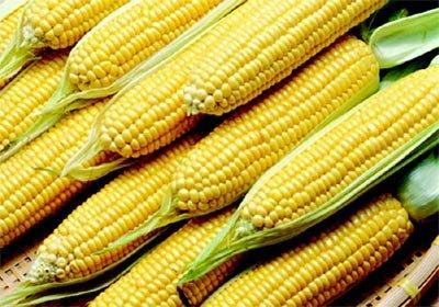 Dezoito variedade de milho transgênico são aprovadas para consumo no Brasil. Foto: Divulgação