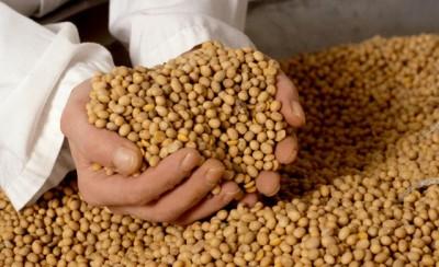 O grosso da soja transgênica vai para alimentação animal. Foto: Divulgação