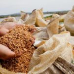Arroz orgânico cultivado no Rio Grande do Sul tem consumo e facilidade no controle de pragas
