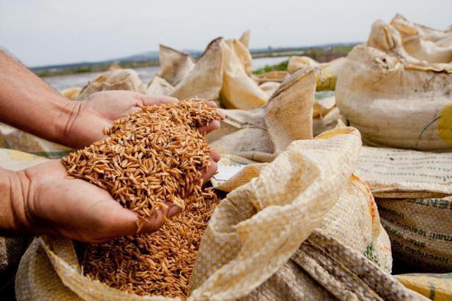 O arroz sem agrotóxicos avança no consumo e facilidade de controlar plantas invasoras. (Foto: Camila Domingues/Divulgação).
