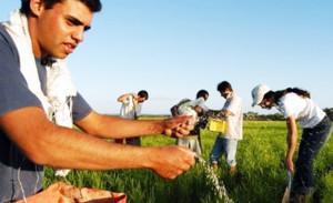 arroz-orgânico-no-RS1-300x183