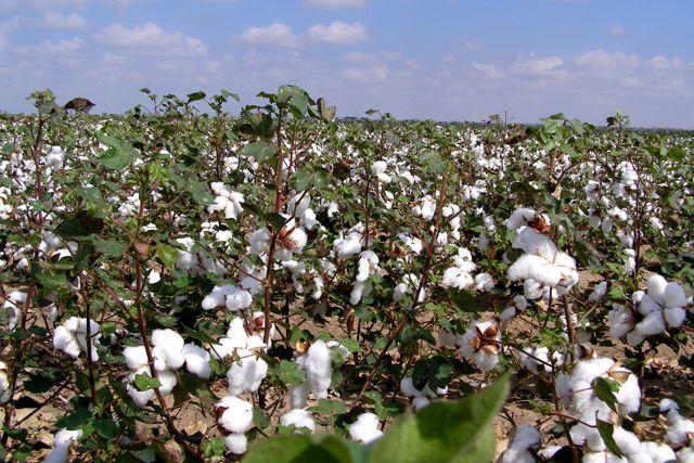 A produção de algodão agroecológico é a principal fonte de renda de Irapuá/CE. Foto: Divulgação