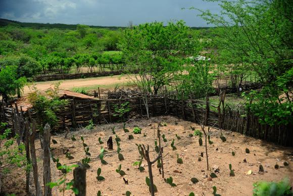 Nova Russas - Moradores convivem com período de seca na comunidade rural de Irapuá. Na foto, a plantação do agricultor João Pinto, 52 anos Foto: Fernando Frazão/Agência Brasil