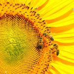 A extinção de abelhas, aves e mamíferos polinizadores por agrotóxicos ameaçam a vida humana