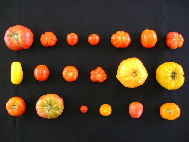 Estudo avaliou os efeitos do alumínio e do cádmio no tomateiro, cujo fruto ganha diferentes formatos, tamanhos e coloração, dependendo da tolerância ao cádmio. Foto: Fernando A. Piotto