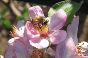 Apis-em-flor-de-maça-II-700x7002