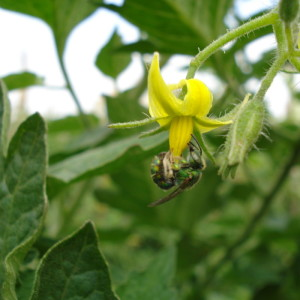 Abelha polinizando flor de tomate. Foto: Paula C. Montagnana