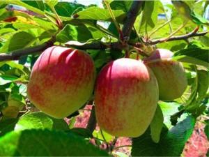 plantar-maca-eva-2