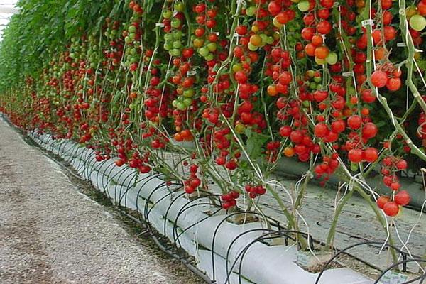 Cultivo hidropônico também foi investigado pela pesquisa. Foto: