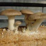 Ácaros reduzem insetos em plantações de cogumelos comestíveis