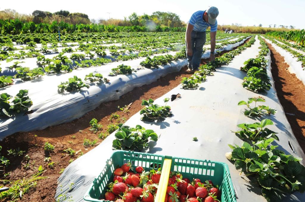 Plantação e colheita de morango no Distrito Federal. Foto: Mary Leal/ Agência Brasília