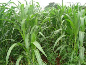 Foto Adubação Verde para Milho Orgânico Pesquisa apontou o plantio consorciado com o feijão guandu anão como a melhor alternativa