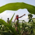 Índia importará 500 mil t de milho não transgênico