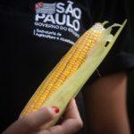 Agricultura de São Paulo lança semente de milho para produção orgânica