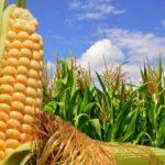 Brasil: exportação de milho alcança valor recorde de US$ 1,34 bi em agosto
